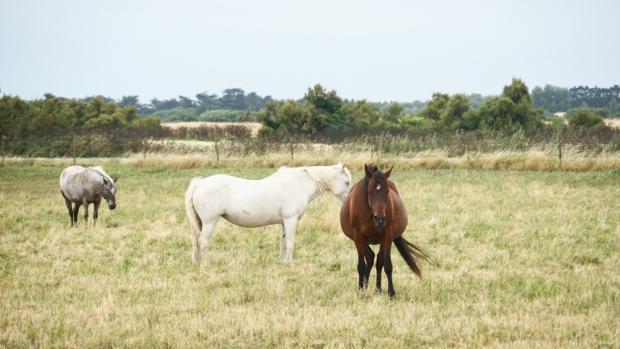 marais-chevaux-ars-en-ré